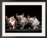 Three Hairless, Sphinx Cats Prints by Adriano Bacchella
