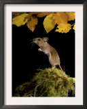 Wood Mouse Standing Up under Beech Leaves in Autumn, UK Prints by Andy Sands