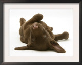 Chesapeake Bay Retriever Dog Pup, Teague, 9 Weeks Old, Rolling on the Ground Prints by Jane Burton