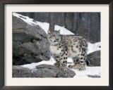 Juvenile Snow Leopard Prints by Lynn M. Stone