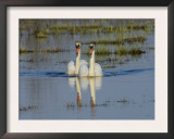 Two Mute Swans on Water, Hornborgasjon Lake, Sweden Prints by Inaki Relanzon