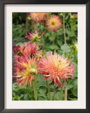 Dahlia Flowers, Mish Mash Variety Flowering in Summer, UK Prints by Gary Smith