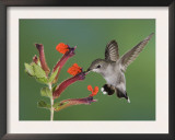 Anna's Hummingbird Female in Flight Feeding on Flower, Tuscon, Arizona, USA Posters by Rolf Nussbaumer