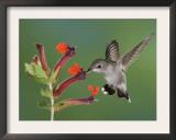 Anna's Hummingbird Female in Flight Feeding on Flower, Tuscon, Arizona, USA Posters by Rolf Nussbaumer
