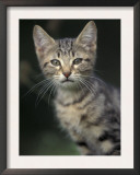 European Brown Tabby Kitten, Portrait Prints by Adriano Bacchella