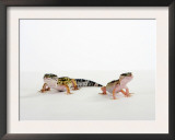 Pair of Leopard Geckos Posters by Petra Wegner