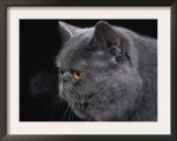 Exotic Grey Cat, Portrait Prints by Adriano Bacchella