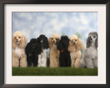Seven Miniature Poodles of Different Coat Colours to Show Coat Colour Variation Within the Breed Poster by Petra Wegner