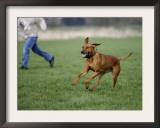 Rhodesian Ridgeback Running in a Field Posters by Petra Wegner