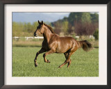 Chestnut Mare Running in Paddock, Longmont, Colorado, USA Print by Carol Walker