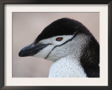 Chinstrap Penguin Head Portrait, Antarctica Print by Edwin Giesbers