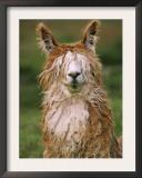Alpaca Portrait, Altiplano, Bolivia Prints by Pete Oxford