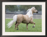 Palomino Andalusian Stallion Trotting in Paddock, Ojai, California, USA Poster by Carol Walker