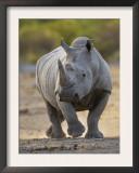 White Rhinoceros Etosha Np, Namibia January Print by Tony Heald