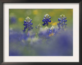 Wildflower Field with Texas Bluebonnet, Comal County, Hill Country, Texas, Usa, March 2007 Posters by Rolf Nussbaumer