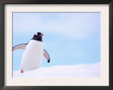 Gentoo Penguin on Snowline, Antarctica Posters by Edwin Giesbers
