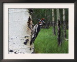 Red-Naped Sapsucker Female at Nest Hole in Aspen Tree, Rocky Mountain National Park, Colorado, USA Print by Rolf Nussbaumer