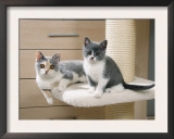 Two British Shorthair Kittens Prints by Petra Wegner