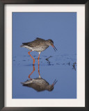 Common Redshank Adult Calling, Lake Neusiedl, Austria Posters by Rolf Nussbaumer