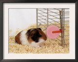 Guinea Pig Feeding at Mineral Stone Print by  Steimer