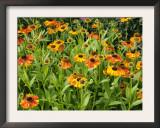 Helenium, Moerheim Beauty Variety Flowering in Summer Garden, Norfolk, UK Print by Gary Smith