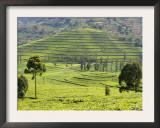 Tea Plantation Near Nyunguwe, Rwanda, Africa Print by Eric Baccega