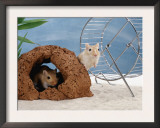 Gerbils at Play Prints by  Steimer