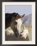 Wild Horse Mustang, Cremello Colt Nibbling at Yearling Filly, Mccullough Peaks, Wyoming, USA Posters by Carol Walker