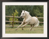Palomino Welsh Pony Stallion Galloping in Paddock, Fort Collins, Colorado, USA Posters by Carol Walker