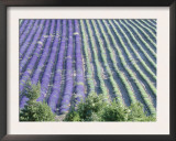 Field of Lavander Flowers Ready for Harvest and Harvested, Valensole, Provence, France, June 2004 Prints by Inaki Relanzon