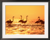American Flamingos on Lake at Sunset, Yucatan, Mexico Posters by  Lucasseck