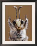 Ant Lion Adult Head Close Up, Texas, USA Prints by Rolf Nussbaumer