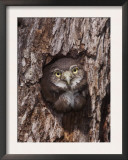 Ferruginous Pygmy-Owl Young Looking Out of Nest Hole, Rio Grande Valley, Texas, USA Prints by Rolf Nussbaumer