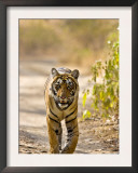 Bengal Tiger Walking on Track, Ranthambhore Np, Rajasthan, India Posters by T.j. Rich