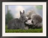 Silver Miniature Poodle Sniffing a Blue Dwarf Rabbit Prints by Petra Wegner