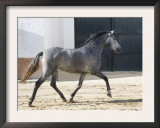 Grey Andalusian Mare Trotting in Arena Yard, Osuna, Spain Posters by Carol Walker