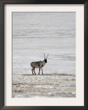 Sub-Adult Tibetan Antelope Chiru in the Chang Tang Nature Reserve of Central Tibet, December 2006 Prints by George Chan