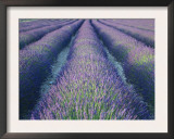 Fields of Lavander Flowers Ready for Harvest, Sault, Provence, France, June 2004 Posters by Inaki Relanzon