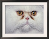 White Persian Cat, Close Up of Face Prints by Adriano Bacchella