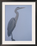 Grey Heron in Mist, Keoladeo Ghana Np, Bharatpur, Rajasthan, India Prints by Jean-pierre Zwaenepoel