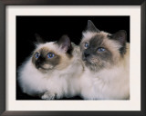 Two Birman Cats Showing Deep Blue Eyes Prints by Adriano Bacchella