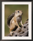 Harris's Antelope Squirrel Adult on Cactus Skeleton, Tuscon, Arizona, USA Posters by Rolf Nussbaumer