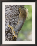 Eastern Fox Squirrel Hill Country, Texas, USA Poster by Rolf Nussbaumer