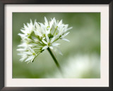 Ramson Wild Garlic Flower, Coombe Valley, Cornwall, UK Print by Ross Hoddinott