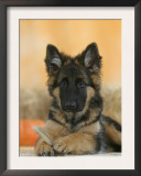 Domestic Dog, German Shepherd Alsatian Juvenile. 5 Months Old, with Rawhide Bone Prints by Petra Wegner