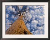 Looking Up at Baobab on Baobabs Avenue, Morondava, West Madagascar Prints by Inaki Relanzon