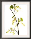 Wild Blackcurrant in Flower, April, Angus, Scotland, UK Art by Niall Benvie