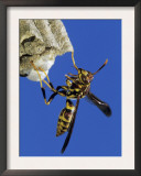 Paper Wasp Adult on Nest, Texas, Usa, May Art by Rolf Nussbaumer