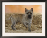 Cairn Terrier Standing with One Paw Raised Print by Petra Wegner