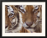 Two Siberian Tigers Portraits Prints by Edwin Giesbers
